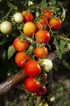 Free Red Tomatoes And Green Leafes Royalty Free Stock Photography - 32503497