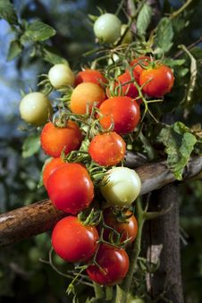 Free Red Cherry Tomatoes Royalty Free Stock Photos - 32503598
