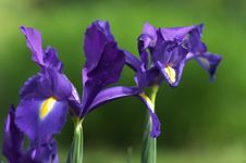 Iris Flowers Close Up Royalty Free Stock Image