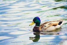 Free Mallard Duck On The Lake Stock Photo - 32505260
