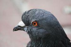 Pigeon &x28;Columba Livia&x29; Stock Images