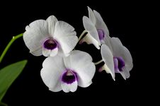 Free White-purple  Orchid Royalty Free Stock Images - 32549629
