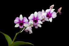 Free White-purple Orchid Stock Images - 32549634