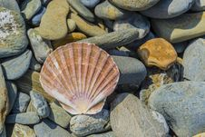 Free Pecten Shell On Rock Royalty Free Stock Photos - 32550108