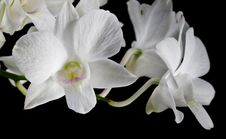 Free White Orchid Stock Image - 32553181