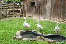 Free Geese Royalty Free Stock Image - 32560576