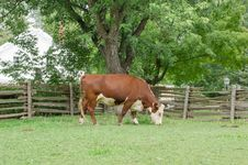 Free Brown Cow Stock Photography - 32560712