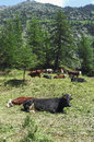 Free A Herd Of Cows Royalty Free Stock Image - 32571426