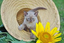 Cute Tiny Kitten Sitting In Sun Hat & Sunflower Royalty Free Stock Photo