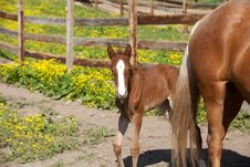 Free Foal Stock Photo - 32574780