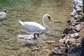 Free Swan Family Stock Photos - 32580343