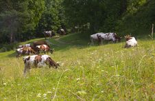 Free Cattle On Pasture Stock Image - 32584311