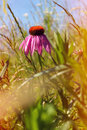 Free Field Of Wild Flowers Echinacea Stock Photo - 32597770