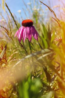 Field Of Wild Flowers Echinacea Stock Photo