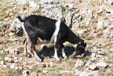 Free Goat Grazing On A Rock Royalty Free Stock Photos - 32599468