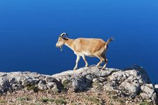 Goat Grazing Against The Sea Stock Images