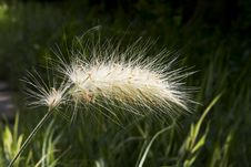 Free Decorative Ear Of Cereal Pennisetum Alopetsuroides Royalty Free Stock Image - 32599846