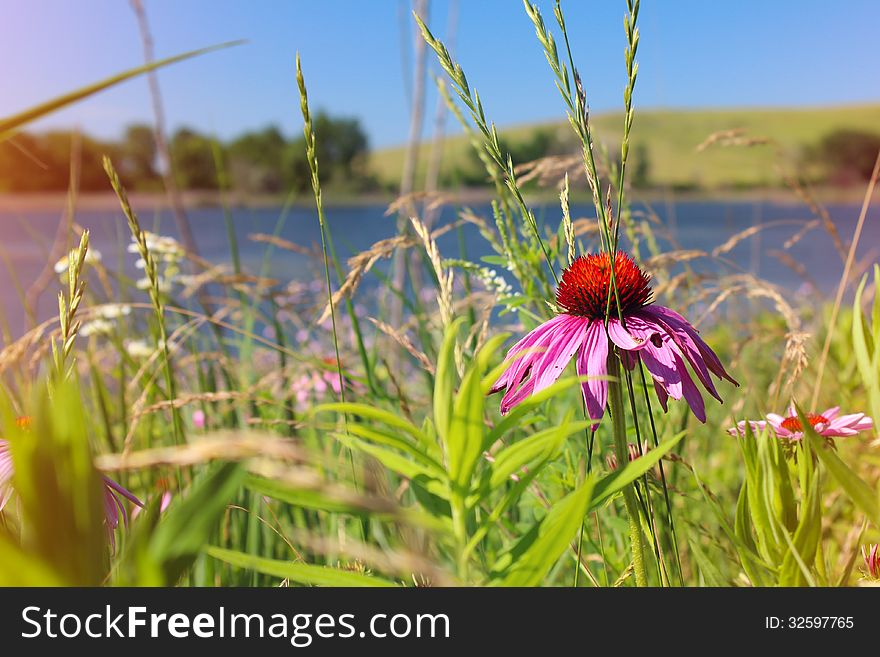 Field of wild flowers echinacea
