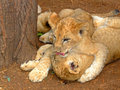 Free Lion Cubs Playing Royalty Free Stock Photo - 3267885