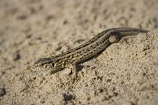 The Lizard On Sand Royalty Free Stock Photos