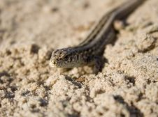The Lizard On Sand Stock Photos