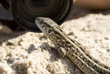 The Lizard On Sand Stock Photography