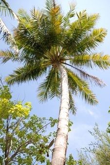 Free Coconut Tree On Full Moon Stock Photography - 3260262