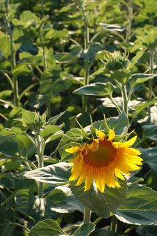 Free Alone Sunflower Stock Photo - 3260910