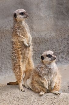 Free Meerkats Stock Photos - 3261753