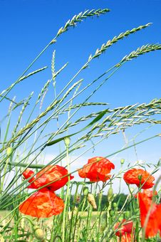 Free Red Poppies On A Green Meadow Royalty Free Stock Photos - 3264428
