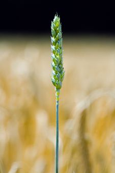 Free Green Wheat Ear On A Field Royalty Free Stock Images - 3264459