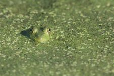 Free Frog Royalty Free Stock Photo - 3265095