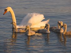 Free Swans Stock Image - 3266091