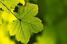 Free Green Maple Stock Photo - 3266170