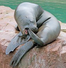 Free Sea-lion 3 Royalty Free Stock Photos - 3266188