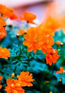 Free Orange Floret, Royalty Free Stock Photography - 3267627