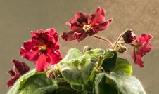 Free African Violet Stock Photography - 3268162