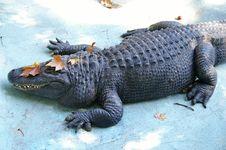 Free Sleepy Crocodile Royalty Free Stock Photo - 3269435