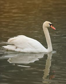 Free Swan In Wintertime Stock Images - 3269684