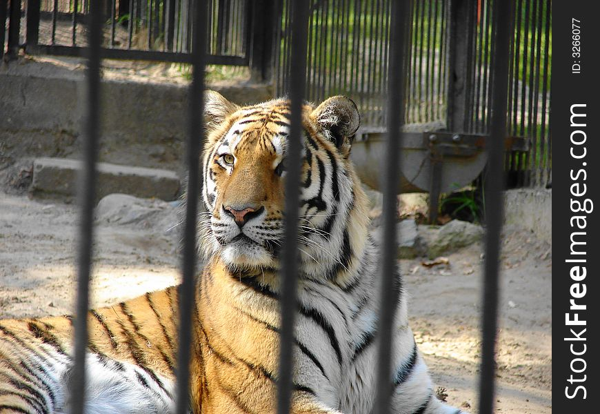 Tiger behind bars