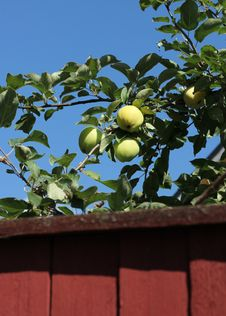 Free Green Apples Behind Garden Fence Stock Photo - 32601070