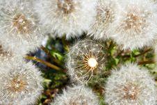 Free Seeding Dandelion Royalty Free Stock Photography - 32601797