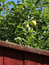 Free Green Apples Behind Garden Fence Royalty Free Stock Photos - 32600988