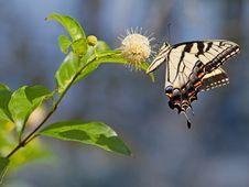 Free Tiger Swallowtail Royalty Free Stock Photo - 32629185