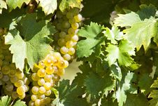 Free White Grapes In Sunlight Stock Photos - 32638173