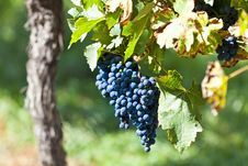 Free Red Grapes In Sunlight Royalty Free Stock Image - 32638186