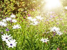 Free Daisy Field Royalty Free Stock Image - 32643206