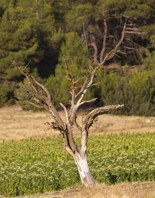 Free The Dead Tree On A Tobacco Field Stock Image - 32643941