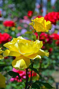Free Beautiful Yellow Roses Royalty Free Stock Images - 32648749