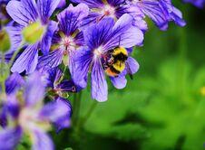 Free Honey Bee Royalty Free Stock Photography - 32650137